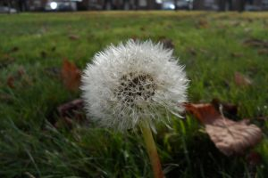 nature plant grass dandelion seeds green white