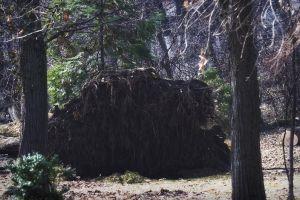 nature tree trunks big root tree overturned big tree breaked park tree roots winter conifers