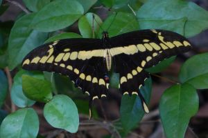 papilio cresphontes butterfly colors black nature insect fauna giant swallowtail wings green