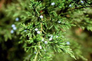 pine tree trees pine green nature evergreen