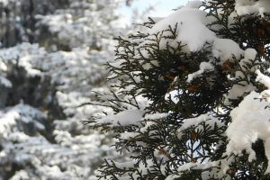 plant cold winter snow branches