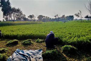 punjab greenry trees village cutting grass crops