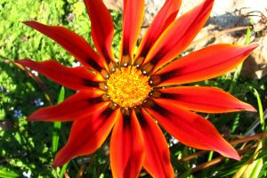 radial yellow red flower daisy plant