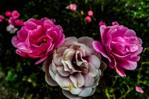 rose nature beautiful flower