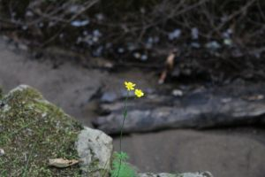 shore debris yellow single flower yellow flower
