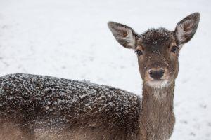 snow meadow ears mammal bambi winter wild animal fur nose