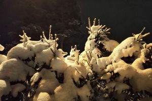 snow night fir trees