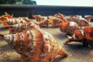 souvenir seashells sea tourism philippines shells