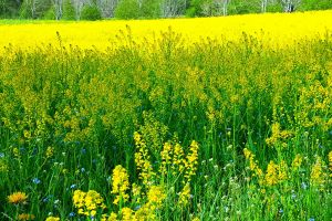 summer field oilseed rape country rapeseed yellow wild flowers growing flowers