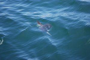 sunfish boating ocean yacht sailing sealife harbor