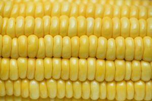 sweetcorn food corn cob corncob close-up delicious