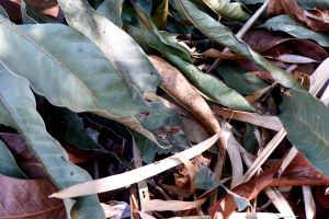texture brown dried leaf dried leaves green