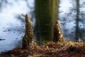 tree roots nature coniferous pond winter selective focus dried leaves water