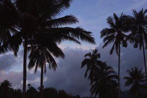 trees palm trees plant