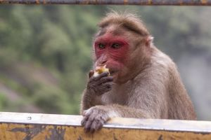 wildlife photography male monkey wild animal macaque apple wild good-looking animal
