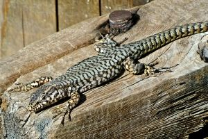 wildlife wooden bench nature exotic shed animal photography crawling reptilian lizard