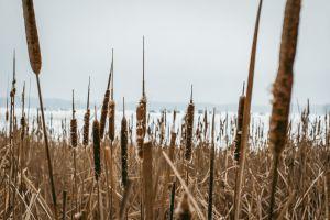 winter grass land landscape reeds nature