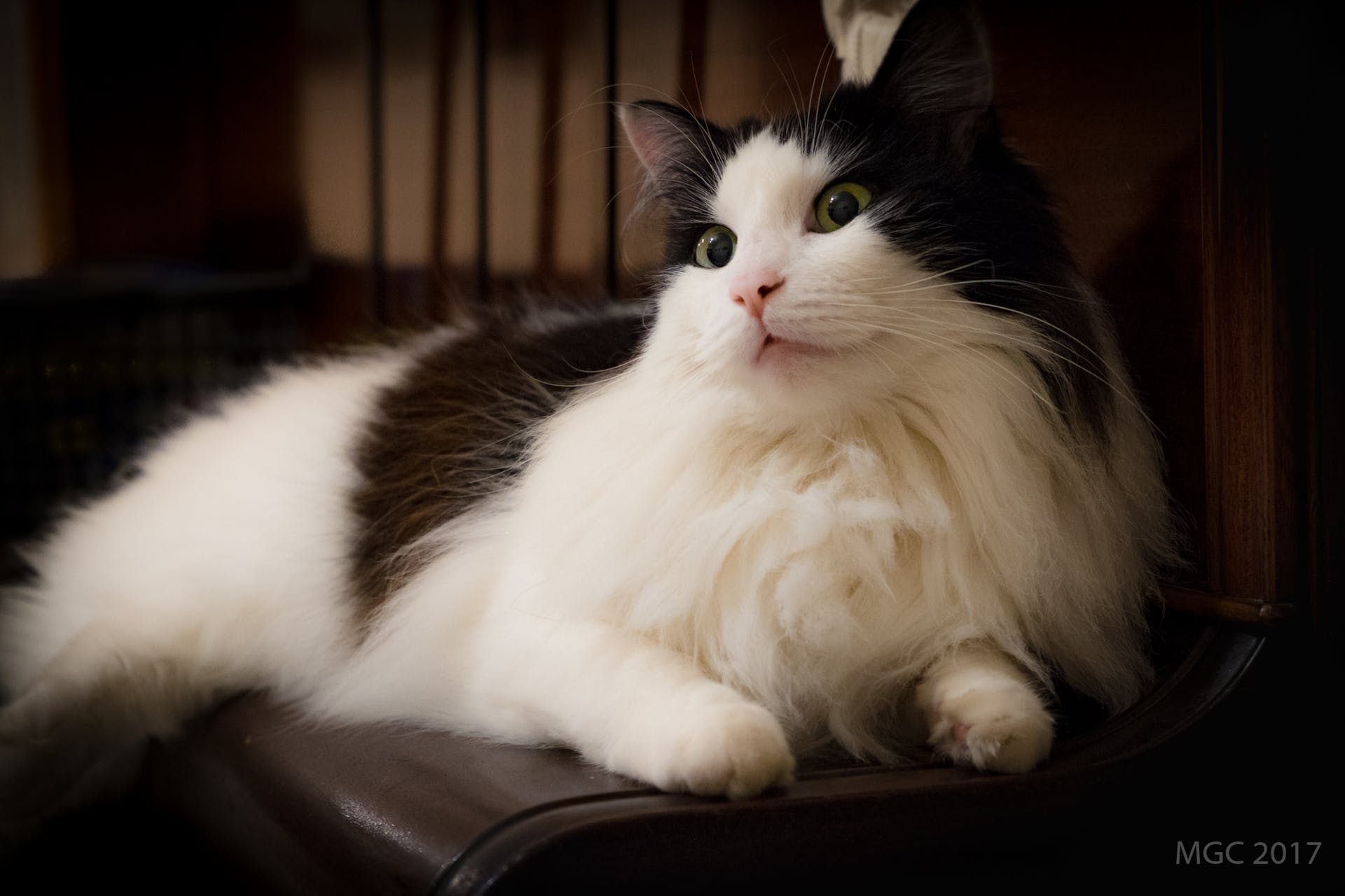 cat pink nose patches cute green eyes fluffy