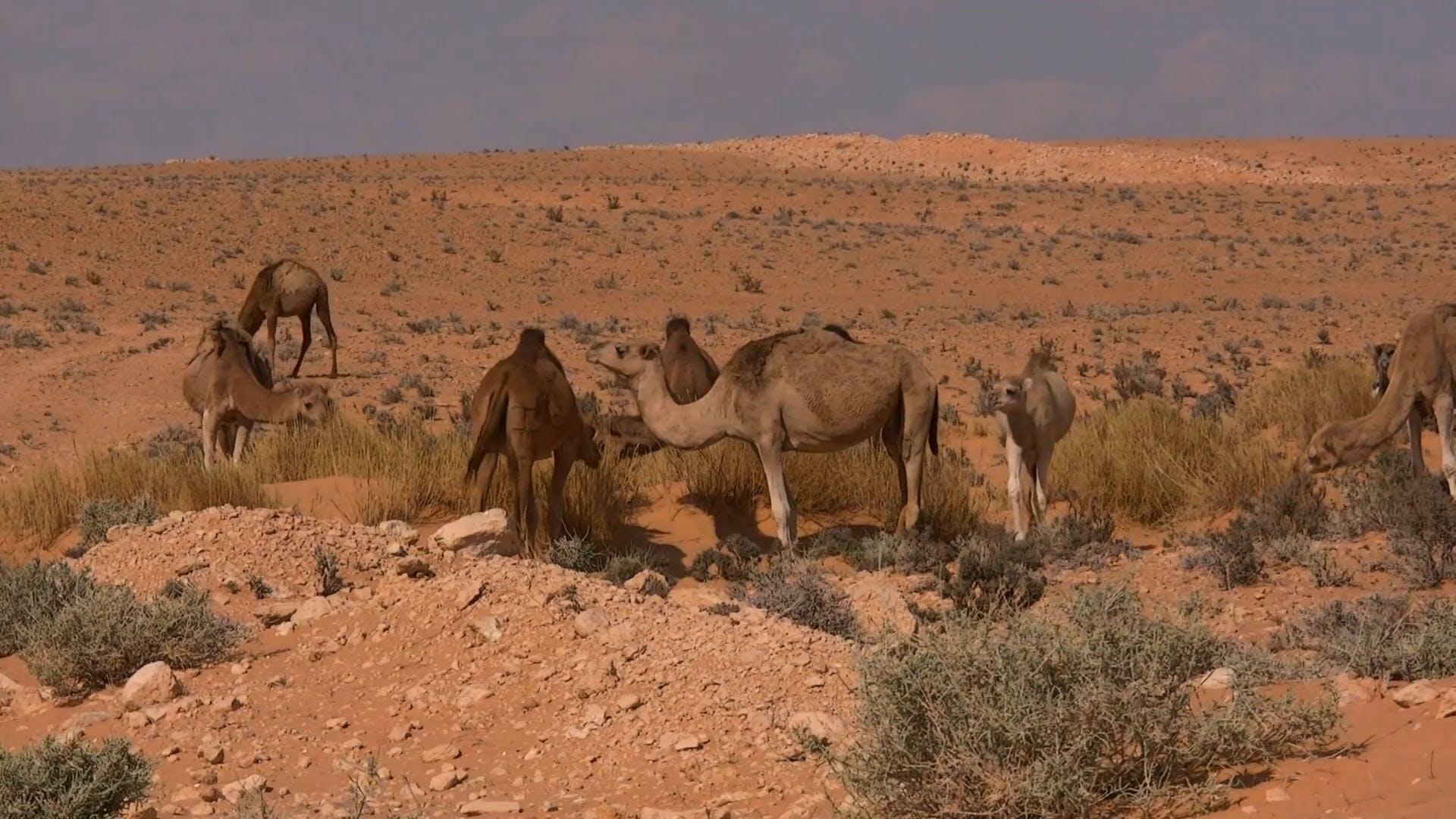 hot grass sand arabian camel animals dromedary desert