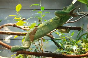 animal branches chameleon wildlife lizard