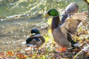 animal ducks drake water water bird nature