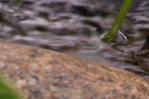 animal frog amphibian close-up rock water
