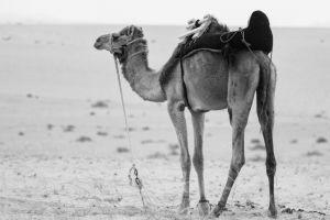 animal photography monochrome sand domestic animal black-and-white rope bridle mammal arabian camel