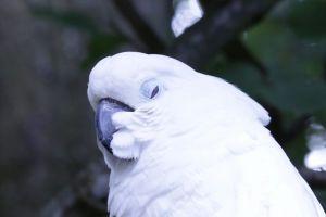 animal plumage close-up cockatoo