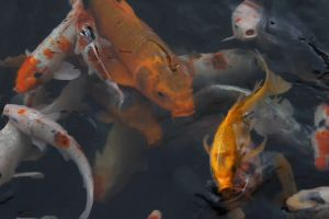 animals underwater fish colorful dark swimming fishes carp high angle shot from above