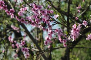 apple tree garden pink flowers