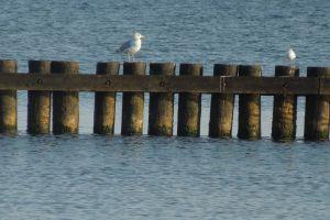 beach seagull sea baltic sea