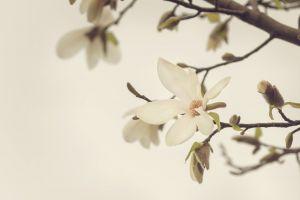 beautiful flowers magnolia nature