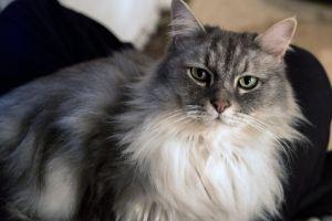 beautiful pet eyes beautiful eyes fluffy cat