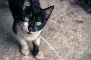black and white green eyes cat animals pet