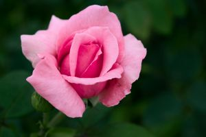 bloom petals flower beautiful blossom bud flora pink rose justifyyourlove garden