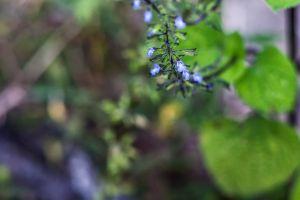 blue flower blue flower planta