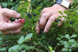 blueberries fruits plants fresh fruit pickin