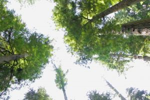 branches nature trees high sky forest wood