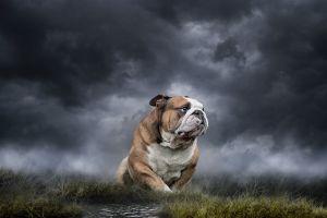 bulldog pet portrait thunderstorm art dog
