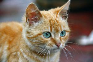 cat eye cat animals green eyes eyes pet animal red cat pussycat pussy cat