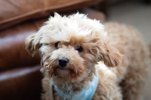 cavapoo dog cute animal