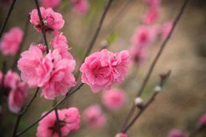 cherry blossoms petals season growth close-up garden flowers color delicate bud