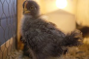 chicks animals incubator hatch young chicken farm new born