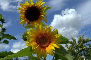 close-up flowers sunflowers sky beautiful trees buds low angle shot plants yellow
