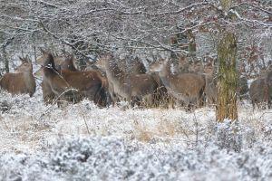 cold animals winter deer snow nature herd