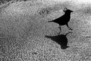 cold crow winter frozen lake