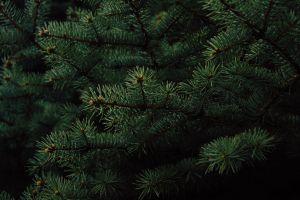 colors evergreen green tree