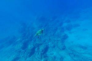 corals sea water underwater ocean swimming turtle