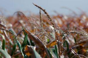 cornfield blurred background summer corn field