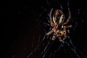 creepy eerie close-up macro black background invertebrate arachnid animal spider web wildlife